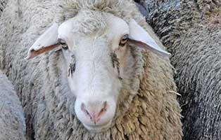 schaf-30-weiblich 40 Schafe suchen Start-ins-Leben Paten Teil3