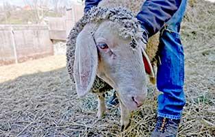 schaf-32-weiblich 40 Schafe suchen Start-ins-Leben Paten Teil3
