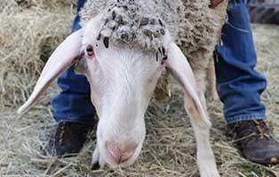 schaf-33-weiblich 40 Schafe suchen Start-ins-Leben Paten Teil3