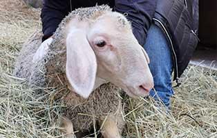 schaf-34-weiblich 40 Schafe suchen Start-ins-Leben Paten Teil3