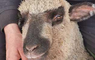 schaf-35-maennlich 40 Schafe suchen Start-ins-Leben Paten Teil3