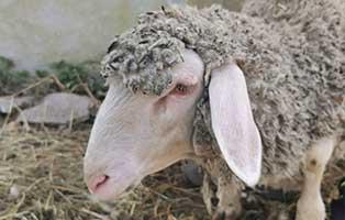 schaf-37-weiblich 40 Schafe suchen Start-ins-Leben Paten Teil3
