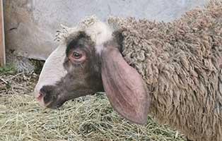 schaf-38-weiblich 40 Schafe suchen Start-ins-Leben Paten Teil3