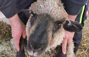 schaf-39-weiblich 40 Schafe suchen Start-ins-Leben Paten Teil3
