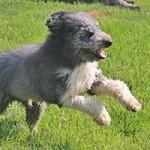 hund-bobby-wardenburg-patentier-klein01-150x150 Bobby - Großpudel-Border-Mix (TH058/20)