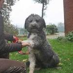 hund-bobby-wardenburg-patentier-klein05-150x150 Bobby - Großpudel-Border-Mix (TH058/20)
