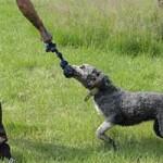 hund-bobby-wardenburg-patentier-klein07-150x150 Bobby - Großpudel-Border-Mix (TH058/20)