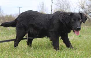 hund-brittany-weiblich-9-Monate Neun Hunde aus dem Tierheim Békéscsaba suchen Aufnahmepaten