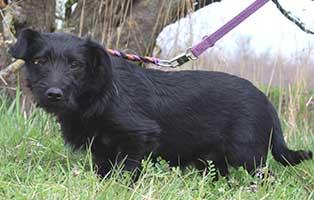 hund-maddox-maennlich-6-Monate Neun Hunde aus dem Tierheim Békéscsaba suchen Aufnahmepaten