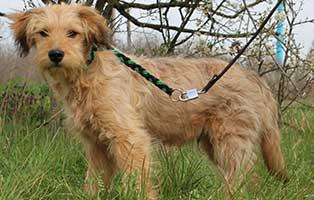 hund-marvin-maennlich-6-Monate Neun Hunde aus dem Tierheim Békéscsaba suchen Aufnahmepaten