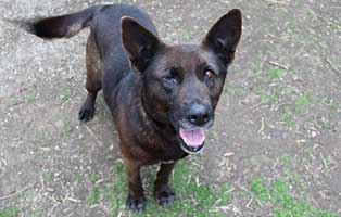 hund-penny-augenoperation-schaut Bogárs und Tücsök - zwei Hund in Not