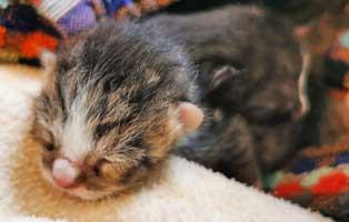 katzenbaby-12021-mäennlich-thueringen Zwei Katzenbabys aus der Katzenstation Thüringen suchen Start-ins-Leben Paten
