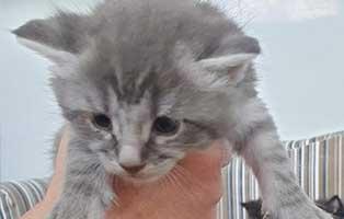 katzenbaby03-maennlich-bk038-21 Neun Katzenbabys aus dem Tierheim Bückeburg suchen Start-ins-Leben Paten