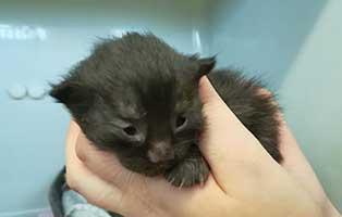 katzenbaby04-maennlich-bk043-21 Neun Katzenbabys aus dem Tierheim Bückeburg suchen Start-ins-Leben Paten