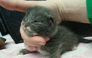 katzenbaby08-maennlich-bk047-21 Neun Katzenbabys aus dem Tierheim Bückeburg suchen Start-ins-Leben Paten