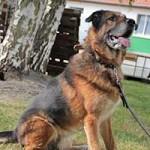 hund-loui-patentier-bueckeburg01-150x150 Loui - Schäferhund (BH058/20)