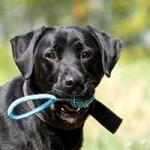 hund-sam-patentier-bueckeburg01-150x150 Sam - Labrador (BH055/20)