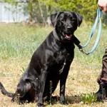 hund-sam-patentier-bueckeburg03-150x150 Sam - Labrador (BH055/20)