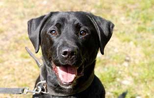 hund-sam-patentier-bueckeburg04 Sam - Labrador (BH055/20)