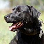 hund-sam-patentier-bueckeburg05-150x150 Sam - Labrador (BH055/20)