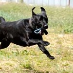 hund-sam-patentier-bueckeburg06-150x150 Sam - Labrador (BH055/20)