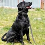 hund-sam-patentier-bueckeburg07-150x150 Sam - Labrador (BH055/20)