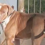 hund-stanley-patentier-bueckeburg02-150x150 Stanley - American Bully XL (BH105/19)