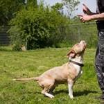 hund-stanley-patentier-bueckeburg05-150x150 Stanley - American Bully XL (BH105/19)