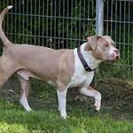 hund-stanley-patentier-bueckeburg06-150x150 Stanley - American Bully XL (BH105/19)