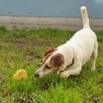 oskar-patentier-bueckeburg01-150x150 Oskar - Jack-Russel-Terrier (BH173/08)