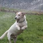 oskar-patentier-bueckeburg05-150x150 Oskar - Jack-Russel-Terrier (BH173/08)