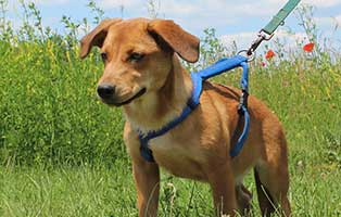 welpe02-weiblich-bessz-ungarn-aufnahmepatenschaft Sechs Junghunde aus dem Tierheim Békéscsaba suchen Aufnahmepaten