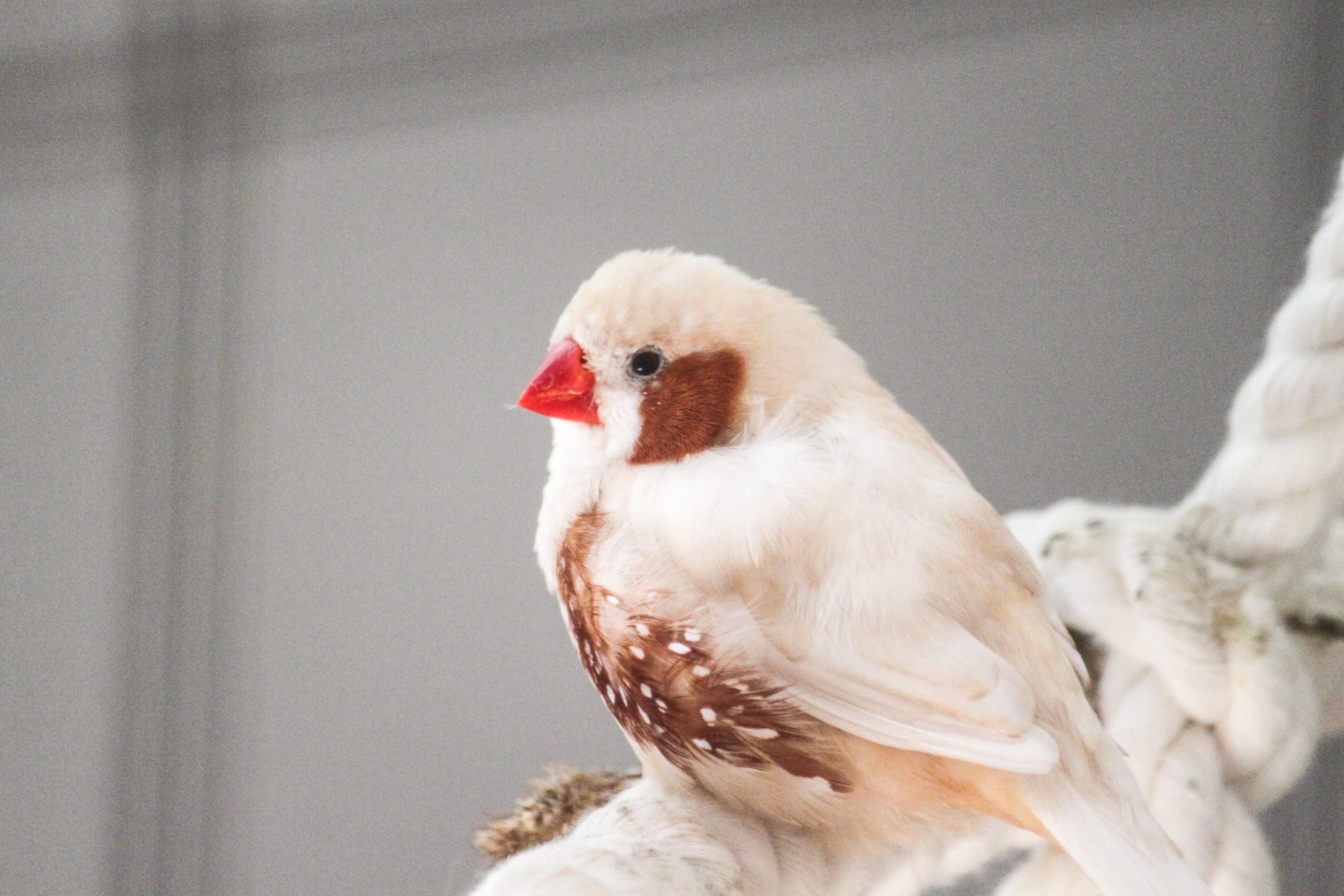 zebrafink-piep-futterpatentier 3-monatige Futterpatenschaft übernehmen
