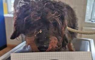 hund-01-dackel-pudel-mix-resi Wieder eine Rettung aus quälerischer Haltung – helfen Sie 14 Hunden in höchster Not