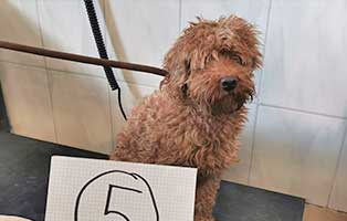 hund-05-pudel-horst Wieder eine Rettung aus quälerischer Haltung – helfen Sie 14 Hunden in höchster Not