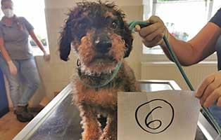 hund-06-dackel-pudel-mix-locke Wieder eine Rettung aus quälerischer Haltung – helfen Sie 14 Hunden in höchster Not
