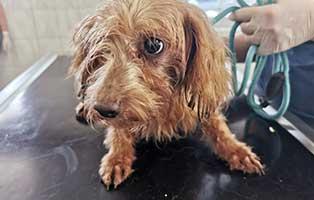 hund-07-pudelmix-daniel Scheidungsopfer Lilly, hat Diabetes - Hund in Not