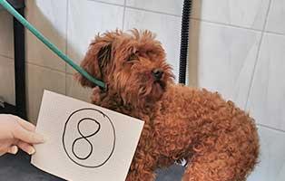 hund-08-pudelhuendin-lilö Wieder eine Rettung aus quälerischer Haltung – helfen Sie 14 Hunden in höchster Not