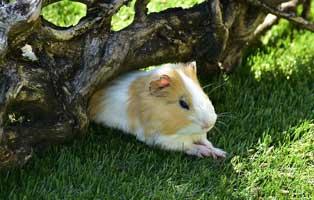 kuehnemund-blog-meerschwein-sommer Cool Summer für dein Meerschwein?