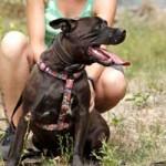 patentier-hund-diego-01-150x150 Diego - Labrador-Französische Bulldogge-Mix (SH156/18)