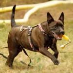 patentier-hund-diego-04-150x150 Diego - Labrador-Französische Bulldogge-Mix (SH156/18)
