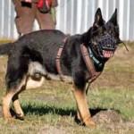 patentier-schaeferhund-rocky-07-150x150 Rocky - Deutscher Schäferhund (SH210/20)
