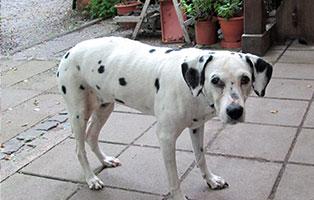 hund-nala-dalmatiner-weiblich-patentier Tierpate werden