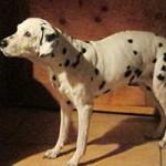 hund-nala-dalmatiner-weiblich-patentier02-150x150 Nana - Dalmatiner (OH001/21)