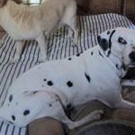 hund-nala-dalmatiner-weiblich-patentier03-150x150 Nana - Dalmatiner (OH001/21)
