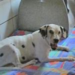 hund-nala-dalmatiner-weiblich-patentier04-150x150 Nana - Dalmatiner (OH001/21)