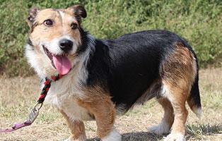 hund-topaz-weiblich-aufnahmepaten Vier Hunde aus Békéscsaba suchen Aufnahmepaten