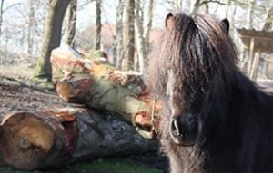 pony-paul-patentier02-300x191 Paul - Shetlandpony (TP019/15)