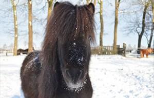 pony-paul-patentier03-300x191 Paul - Shetlandpony (TP019/15)