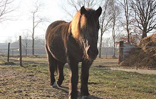 pony-paula-patentier01 Paula - Shetlandpony (TP002/17)